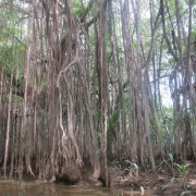 Mangrove forest in Little Amazon