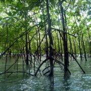Mangrovenwälder bei Phang Nga