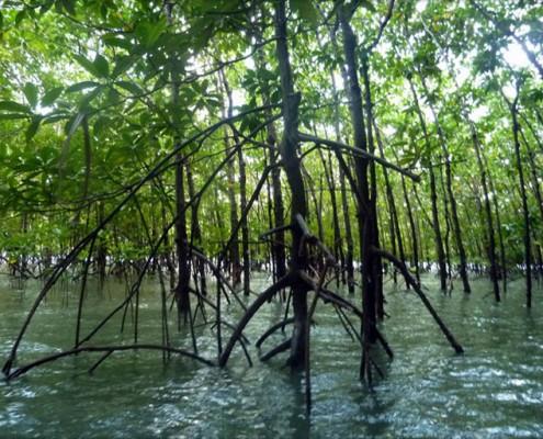 Mangroves in Phang Nga