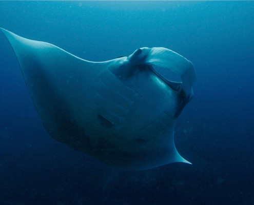 Manta Ray, Khao Lak - Sea Turtle Divers