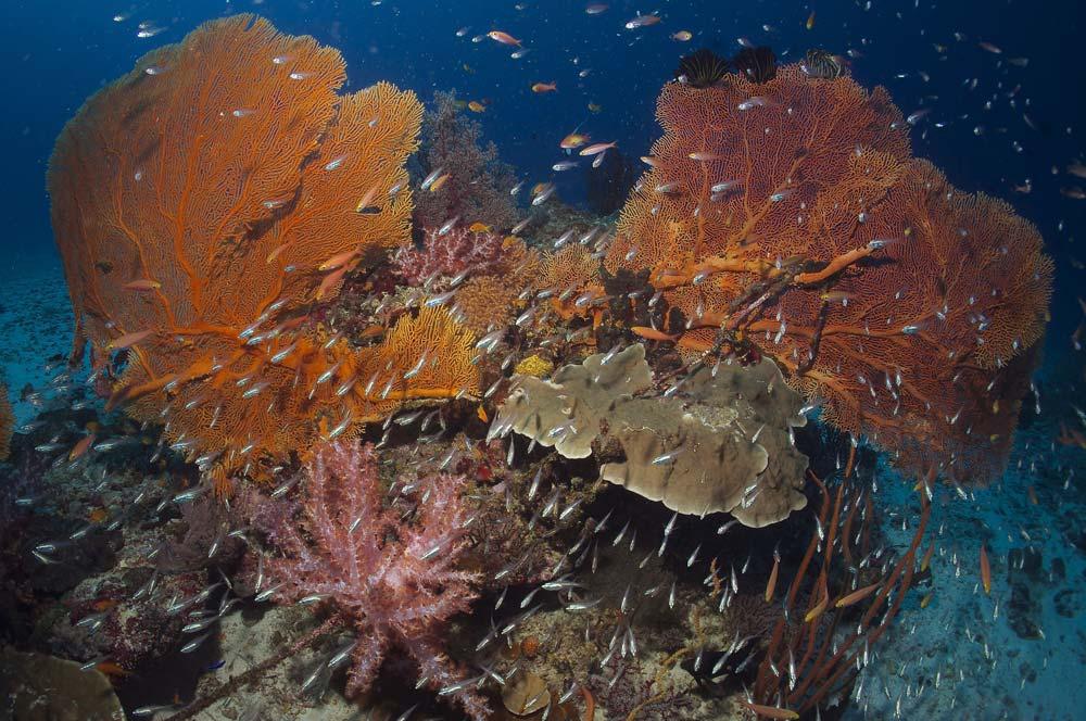 Farbenprächtige Korallen - Khalo Lak - Sea Turtle Divers