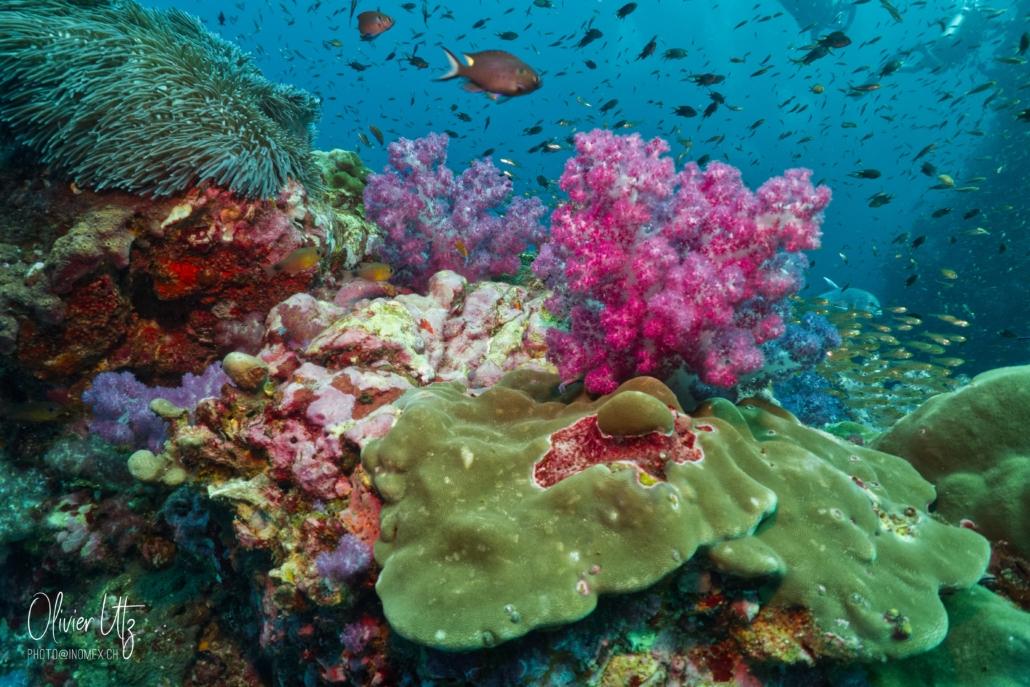 Colorful Corals - Khalo Lak - Sea Turtle Divers
