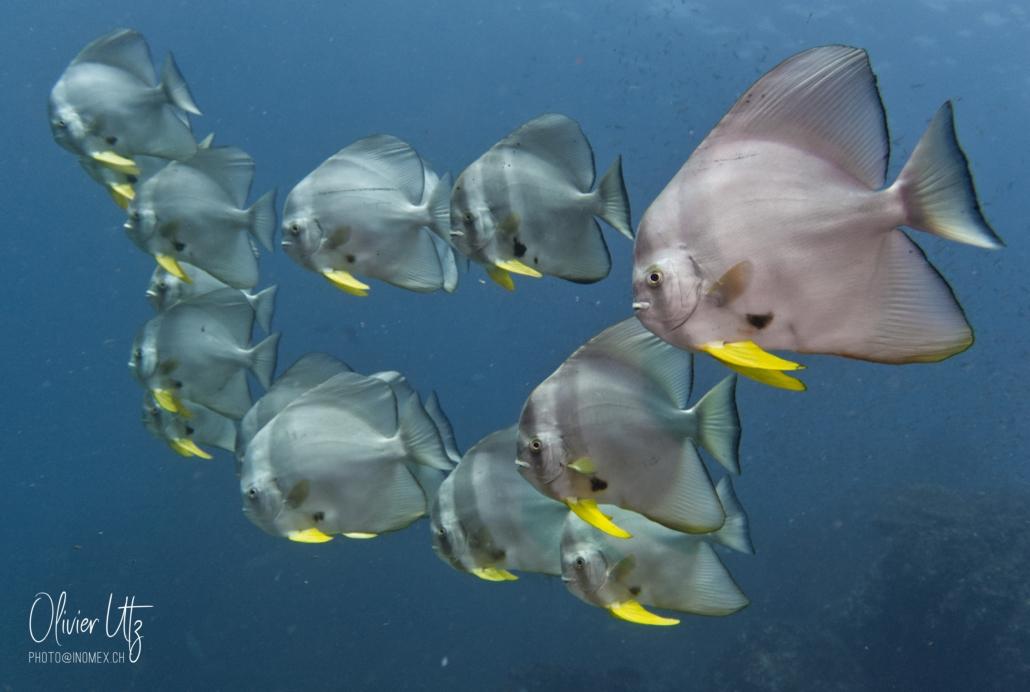 Batfish, Richelieu Rock - Khalo Lak - Sea Turtle Divers