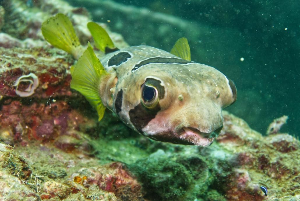 Porcupinefish - Khalo Lak - Sea Turtle Divers